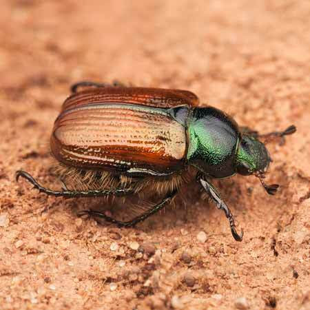 Chafer Beetle Control From Pleveys In Doncaster
