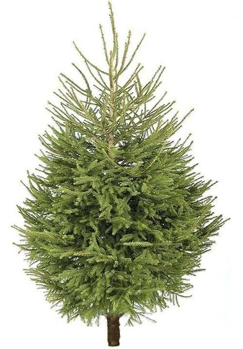 The Norway Spruce Christmas tree from Pleveys in Doncaster.